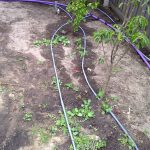 garden before watering with greywater